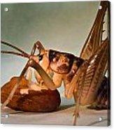 Cave Cricket Feeding On Almond Acrylic Print