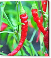 Cayenne Peppers Acrylic Print
