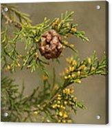 Cedar Rust Gall - Gymnosporangium Juniperi-virginianae Acrylic Print