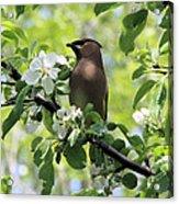 Cedar Waxwing Among Apple Blossoms Acrylic Print