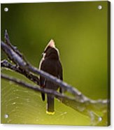 Cedar Waxwing Perched In Tree Acrylic Print