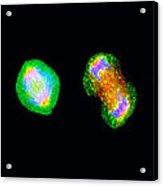 Cell Mitosis Acrylic Print