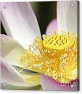 Center Of A Lotus Acrylic Print