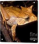 Central American Casque Headed Frog Acrylic Print