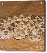 Cerastes Cerastes Horned Viper Acrylic Print