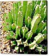 Cereus Peruvianis Cactus Acrylic Print