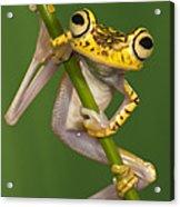 Chachi Tree Frog Hypsiboas Picturatus Acrylic Print