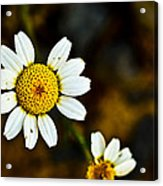 Chamomile Flower In Decay Acrylic Print