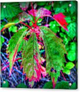 Changing Woodbine Acrylic Print