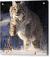Chase In The Snow Acrylic Print