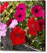 Chawton Petunias Acrylic Print
