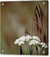Cheatgrass And Common Yarrow Acrylic Print