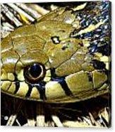 Checkered Garter Snakes Head Acrylic Print