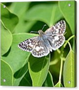 Checkered Skipper Acrylic Print