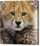Cheetah Acinonyx Jubatus Ten To Twelve Acrylic Print