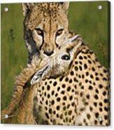 Cheetah Acinonyx Jubatus With Its Kill Acrylic Print