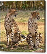 Cheetah Chat 1 Acrylic Print