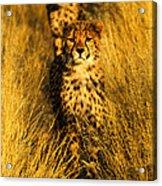 Cheetah Cubs Acrylic Print