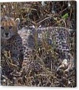 Cheetah Kitten Acrylic Print