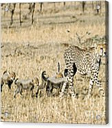 Cheetah Mother And Cubs Acrylic Print