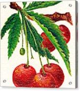 Cherries On A Branch Acrylic Print