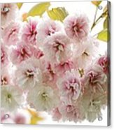Cherry Blossom (cerasus Sp.) Acrylic Print