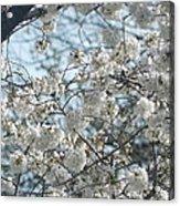 Cherry Blossom Festival  Acrylic Print