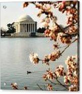Cherry Blossom In Dc Acrylic Print