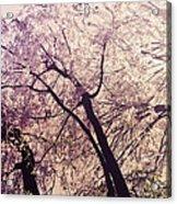 Cherry Blossoms - New York City Acrylic Print by Vivienne Gucwa