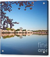 Cherry Blossoms Along The Tidal Basin Acrylic Print