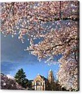 Cherry Blossoms At University Of Washington Acrylic Print