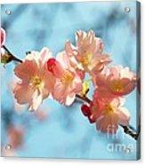 Cherry Blossoms IIi Acrylic Print