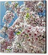 Cherry Blossoms Of The Sky Acrylic Print