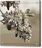 Cherry Blossoms Sepia Acrylic Print