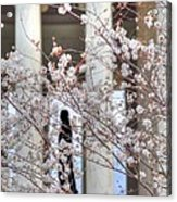 Cherry Blossoms Washington Dc 1 Acrylic Print
