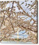 Cherry Blossoms Washington Dc 3 Acrylic Print by Metro DC Photography