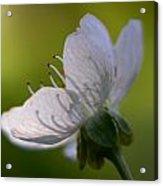 Cherry Flower Acrylic Print