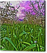 Cherry Orchard After The Storm Acrylic Print