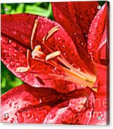 Cherry Red Lily Acrylic Print