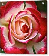 Cherry Vanilla Rose Acrylic Print