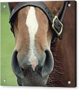 Chestnut Pony Foal Muzzle With Whiskers Acrylic Print