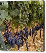 Chianti Grapes Acrylic Print