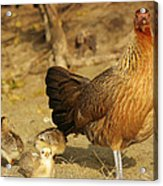 Chicken And Chicks Acrylic Print