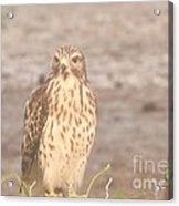 Chicken Hawk 1 Acrylic Print