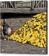 Chickens Eating Corn Acrylic Print