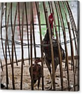 Chickens In Bamboo Cage Acrylic Print