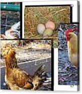 Chickens Acrylic Print