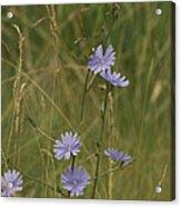 Chicory 2765 Acrylic Print