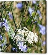 Chicory And Lace Acrylic Print