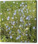 Chicory Flowers (cichorium Intybus) Acrylic Print